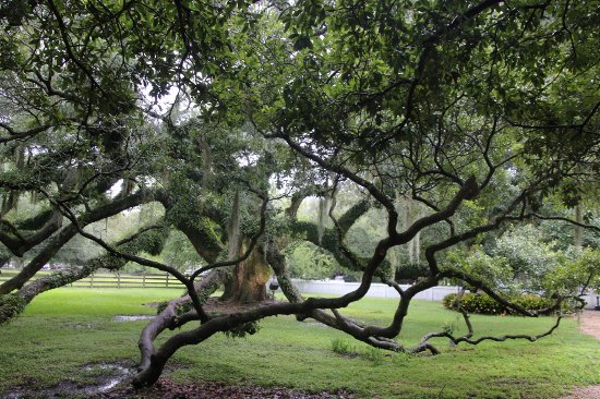 Destrehan Plantation: Cool tree.