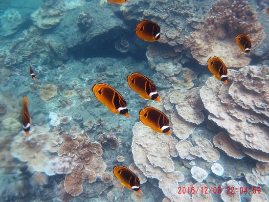 Pahoa, Hawaje: butterfly fish in pools aplenty