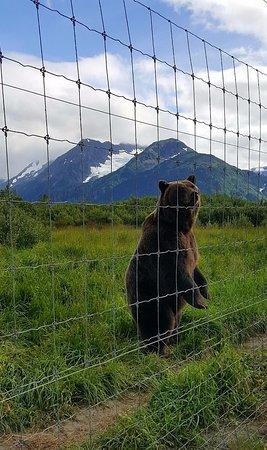 Girdwood, AK: Brown bear on alert