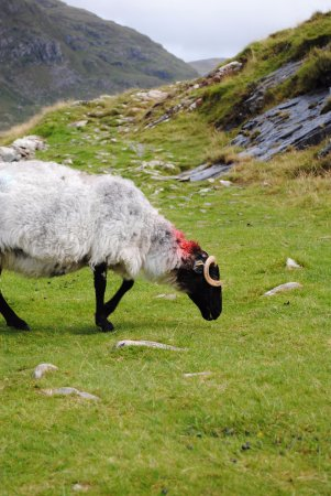 Leenane, Irlanda: One of my sheep friends.