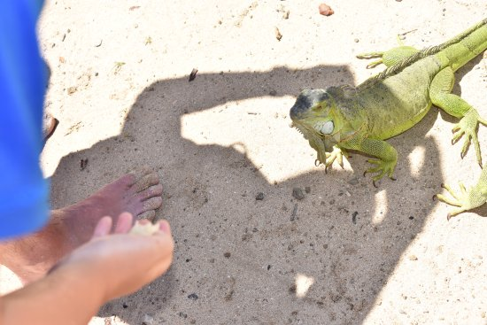 Oyster Pond, St. Martin/St. Maarten : Feeding the iguana!