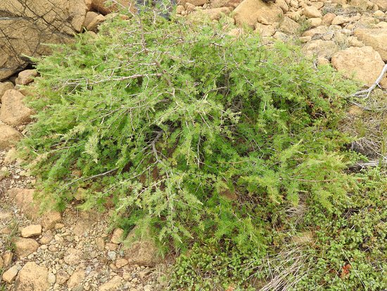 another plant thriving in the toxicity of the tablelands