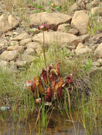 The Tablelands: The carnivorous pitcher plant and Newfoundland's provincial plant