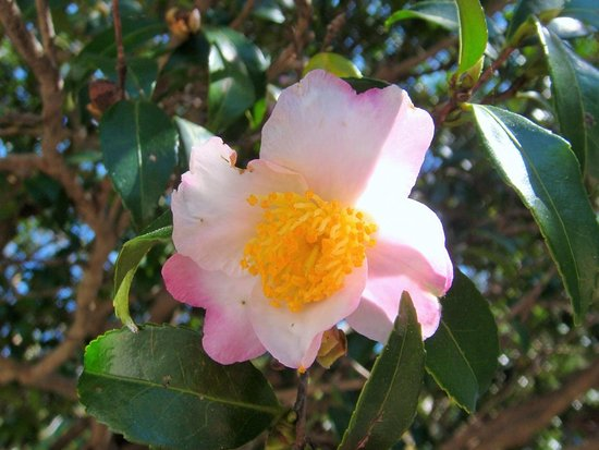 Big Camellia Sasanqua