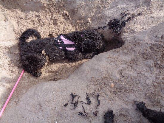 Dirleton, UK: Digging dogs
