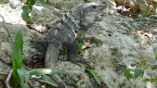 Yucatan, Messico: plein d'iguanes