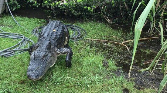 Tigertail Airboat Tours: Getting a little close ...