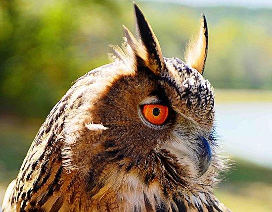 Dahlonega, GA: Yonah the Eurasian Eagle Owl