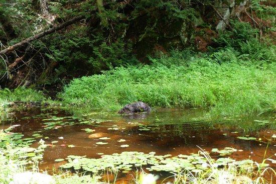 Algonquin Provincial Park, Canada: Een bever aan het werk
