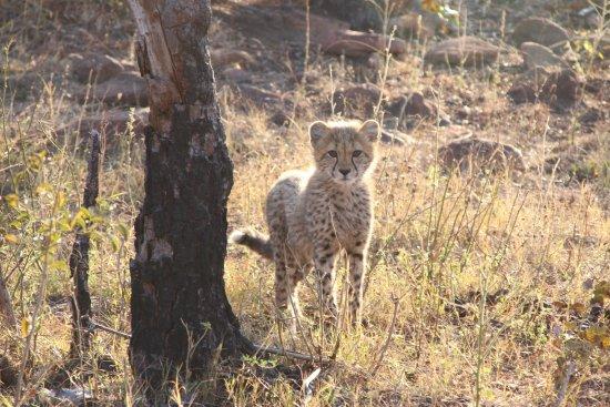 Welgevonden Game Reserve, Zuid-Afrika: cheetah cub!!