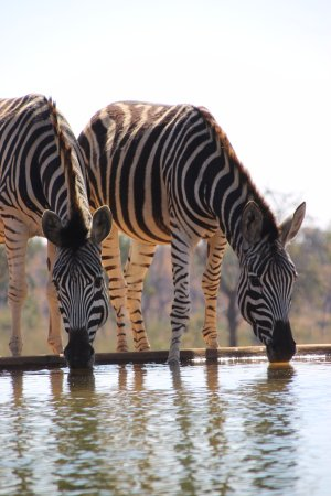 Заповедник Велгевонден, Южная Африка: Zebra at the waterhole