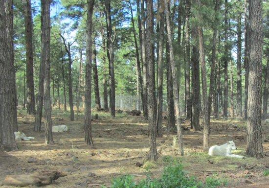 วิลเลียมส์, อาริโซน่า: White wolves in natural-like setting