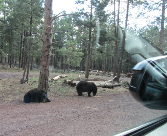 Уильямс, Аризона: Staff and signage all state not to feed the animals and close windows in certain sections of par