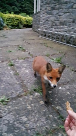 Oldcastle, Ierland: Neighborhood fox so tame that she'll eat from your hands