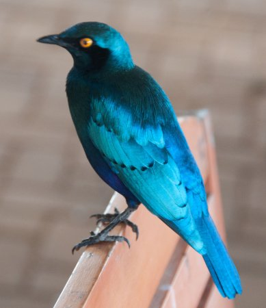 Kruger National Park, South Africa: Greater Blue-eared Glossy Starling on the hotel patio.
