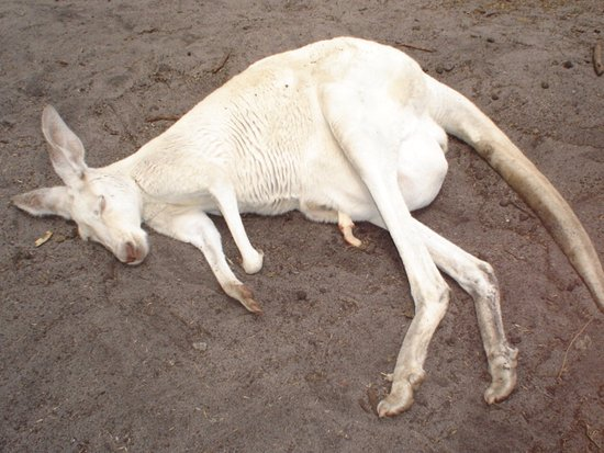 Whiteman, Austrália: ...a white kangaroo with a baby in its pooch