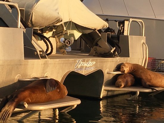 DANA POINT HARBOR, CA, the Sea Lions ❤️this THRESHER 🎣Boat in the Harbor at 🌅