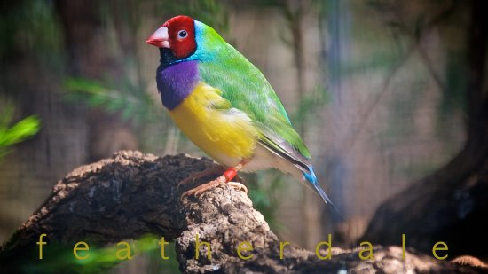 Blacktown, Austrália: small colourful birdie