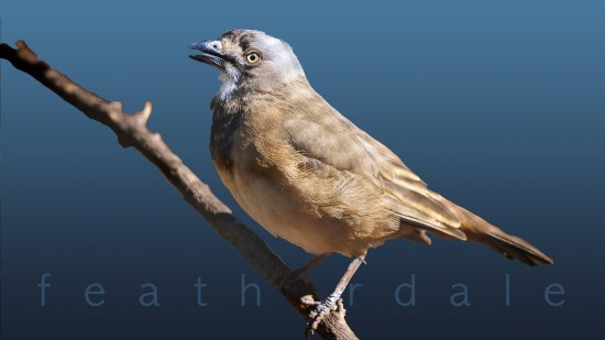Blacktown, ออสเตรเลีย: brown bird