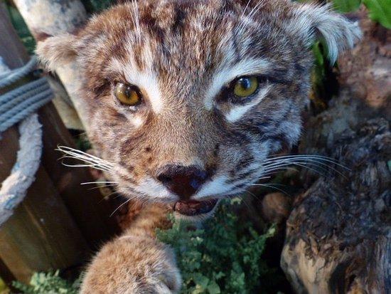 Ocean Shores, WA: Bobcat from the Habitat Room