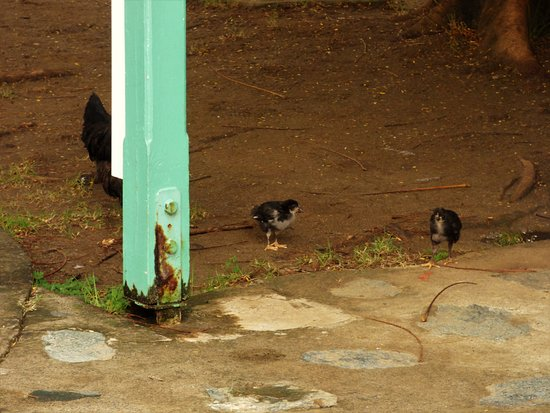 Road Town, Tortola: Birds round the craft huts scavenging