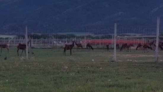 Bagley's Teton Mountain Ranch: Our neighbors, the elk