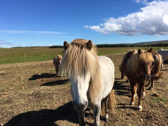 Budardalur, Islandia: Some of the lovely horses