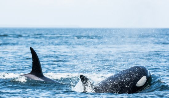 White Rock, Canadá: An awesome photo of some killer whales on a recent Whale Watching Adventure