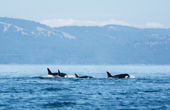 White Rock, Canadá: We caught this pod of whales on a recent trip in late July