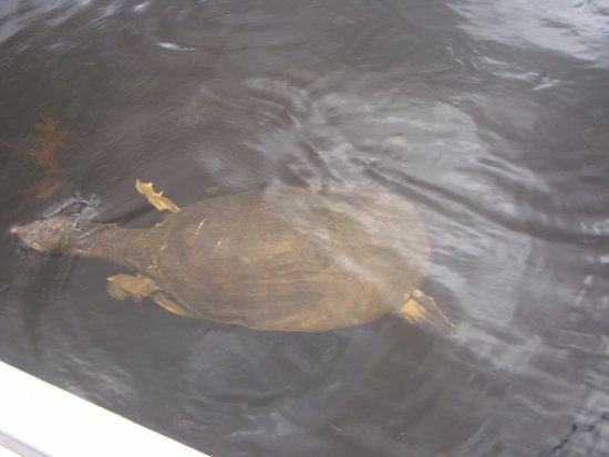 Weston, FL: Large turtles also swam very close to where the Captain stopped so we could get some photos.