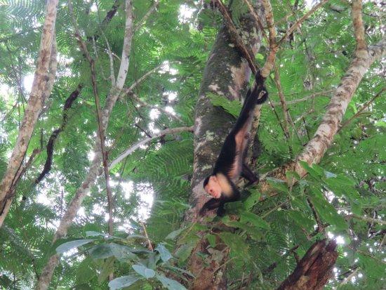 """San Pedro, Kostaryka: Singe """"cariblanco"""" que nous avons pu voir pendant la balade en kayak"""