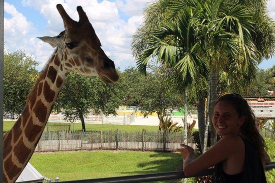 Loxahatchee, FL: giraffe feed
