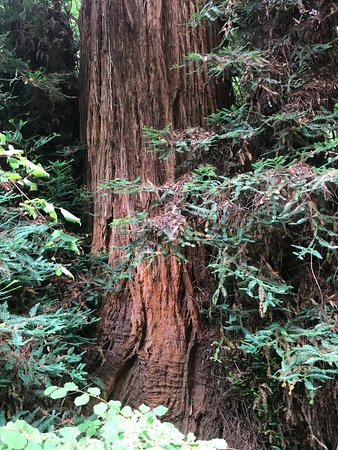 Mill Valley, CA: Large Redwood