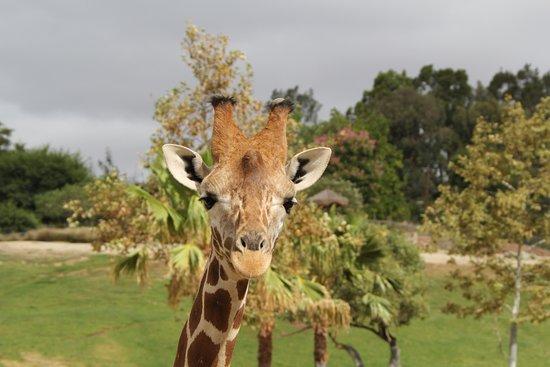 Escondido, CA: Giraffe