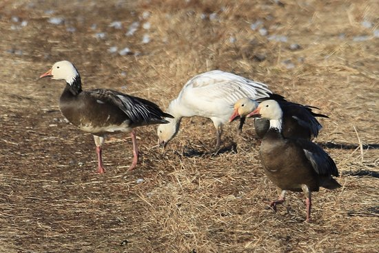 Mound City, MO: Both the blue morph stage and prevalent, standard white phase of snow geese.