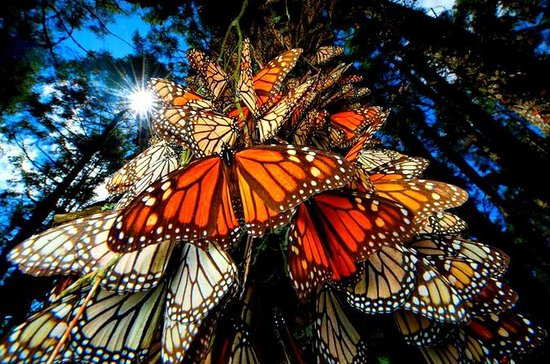 6-Night Monarch Butterfly Migration...