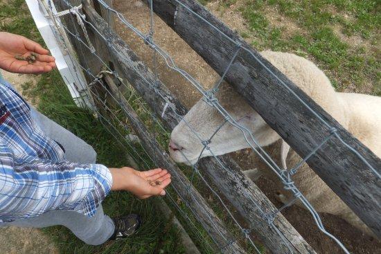 Eniwa, Japón: 息子が羊にエサやりをしているところです。