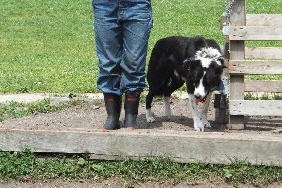 Eniwa, Japón: 牧羊犬 ボーダーコリーのロイ君
