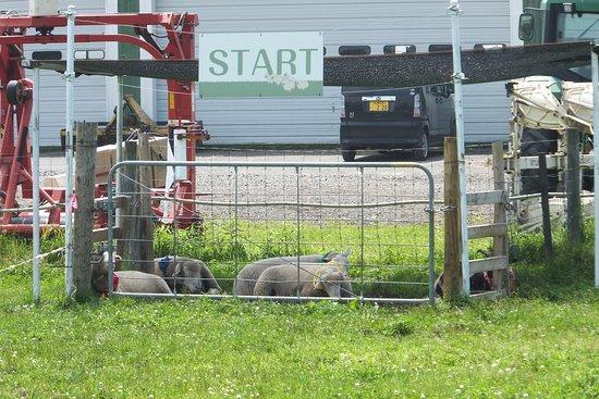 Eniwa, Japón: ひつじレース出走前の羊たち。