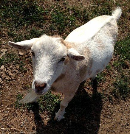 Ferndale, WA: Goat Ambassador, Quality Control