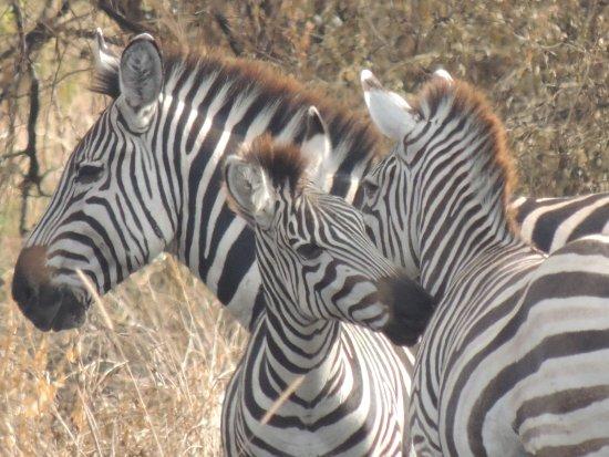Tarangire National Park, Tanzania: Zeals of zebras everywhere in the park