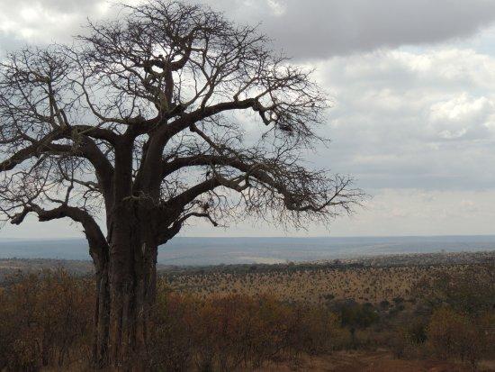 Tarangire National Park, Tanzania: Magnificent Boabs througout the park