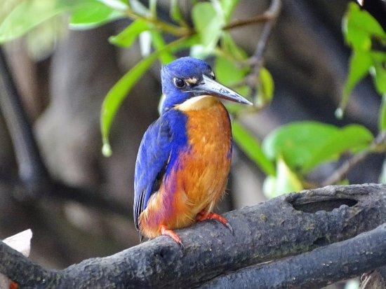 Dan Irby's Mangrove Adventures: Kingfisher