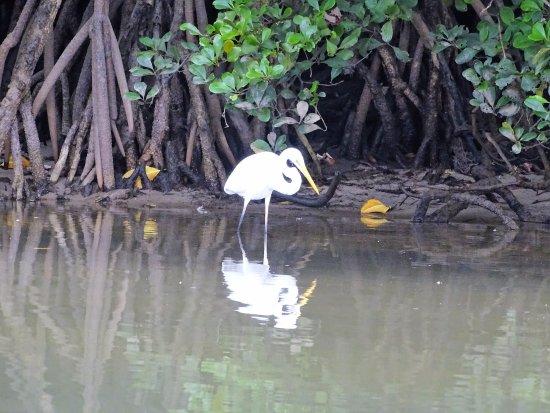 Dan Irby's Mangrove Adventures: Egret