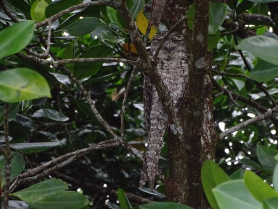 Dan Irby's Mangrove Adventures: Frogmouth