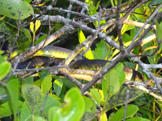 Daintree, Australia: Green tree snake