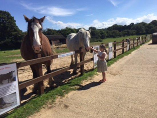 West Runton, UK: Shire Horses