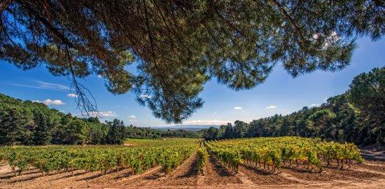 Haro, Espanha: Viñedo de Hacienda El Ternero, protegido por bosques de Piceas y pinsapos