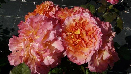 """Grignan, France: Rose très """"Belle Epoque"""" créée en hommage à M.Fontaine en 2014 par D.Massad."""