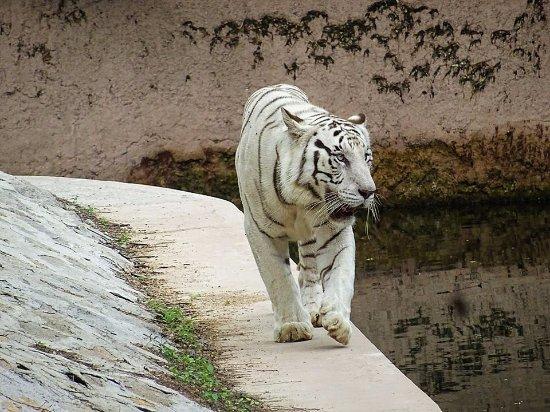 White Tiger - รูปถ่ายของ Nehru Zoological Park, ไฮเดอราบาด